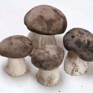 Funghi Cardoncello